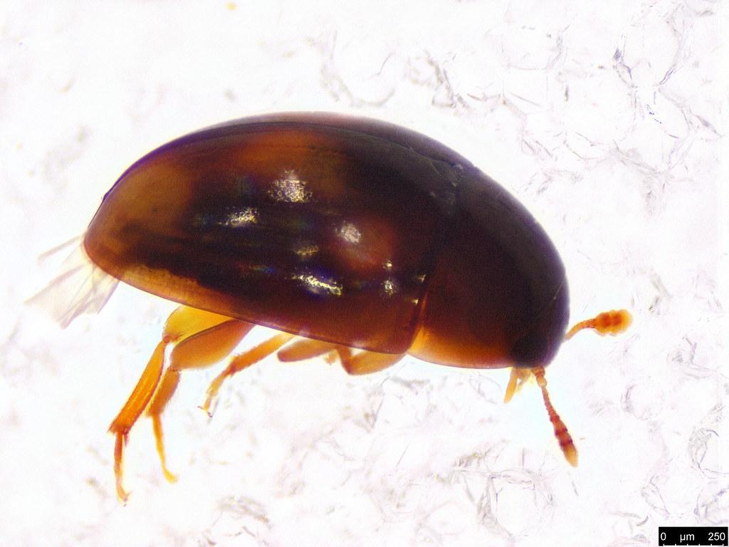 13b - Phalacridae sp.