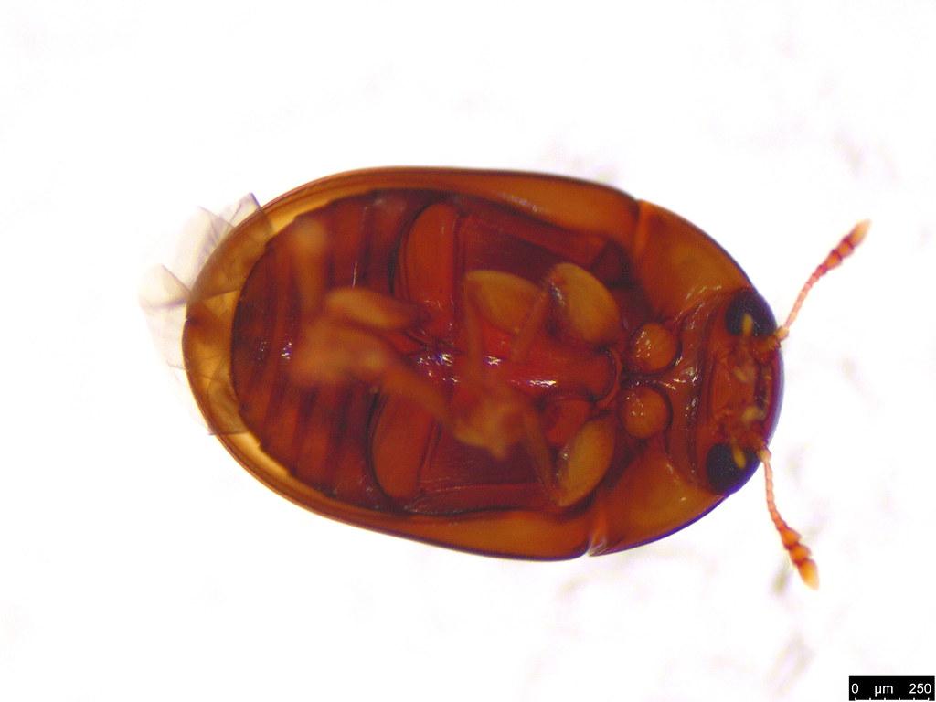 13c - Phalacridae sp.