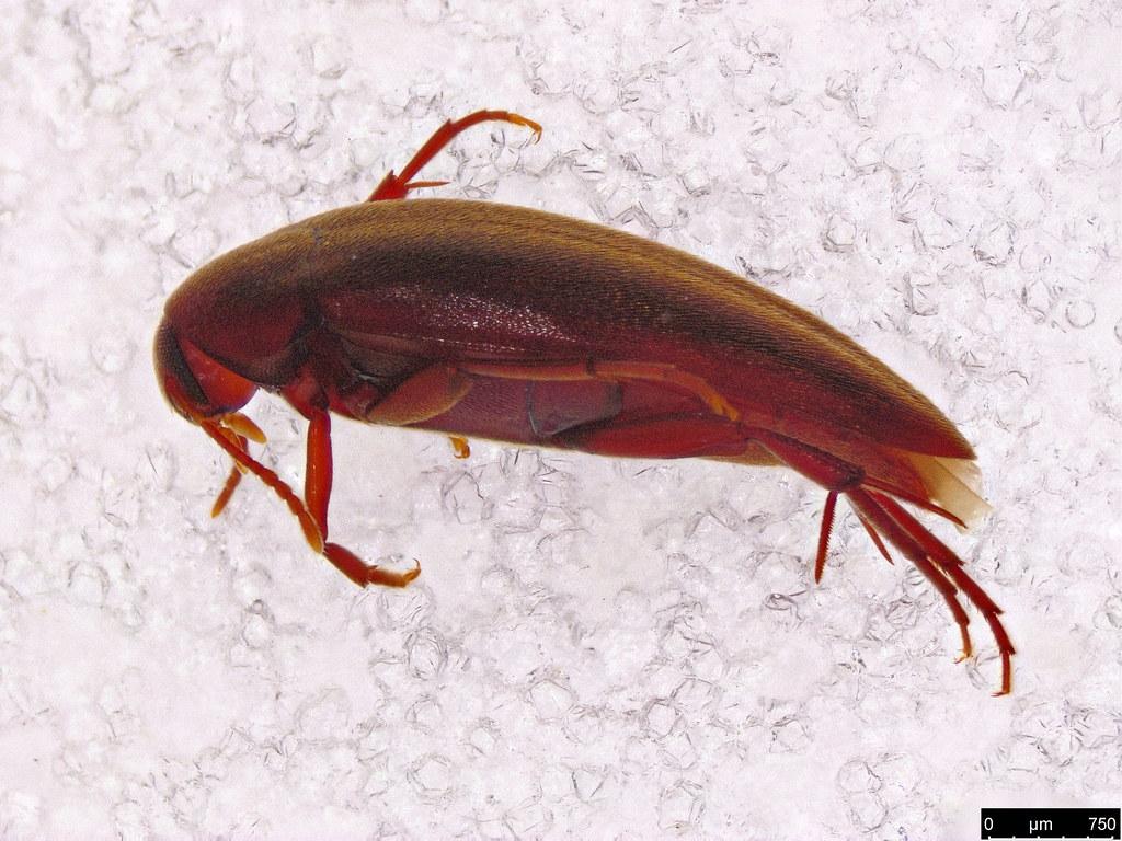 14a - Orchesiini sp.