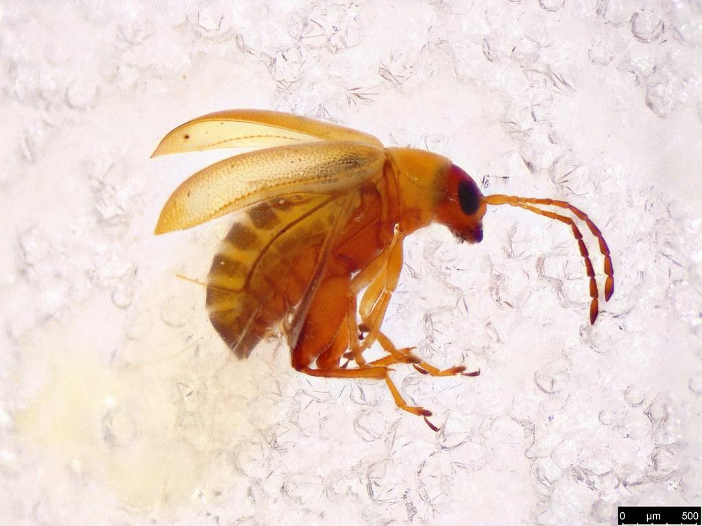 15a - Galerucinae sp.