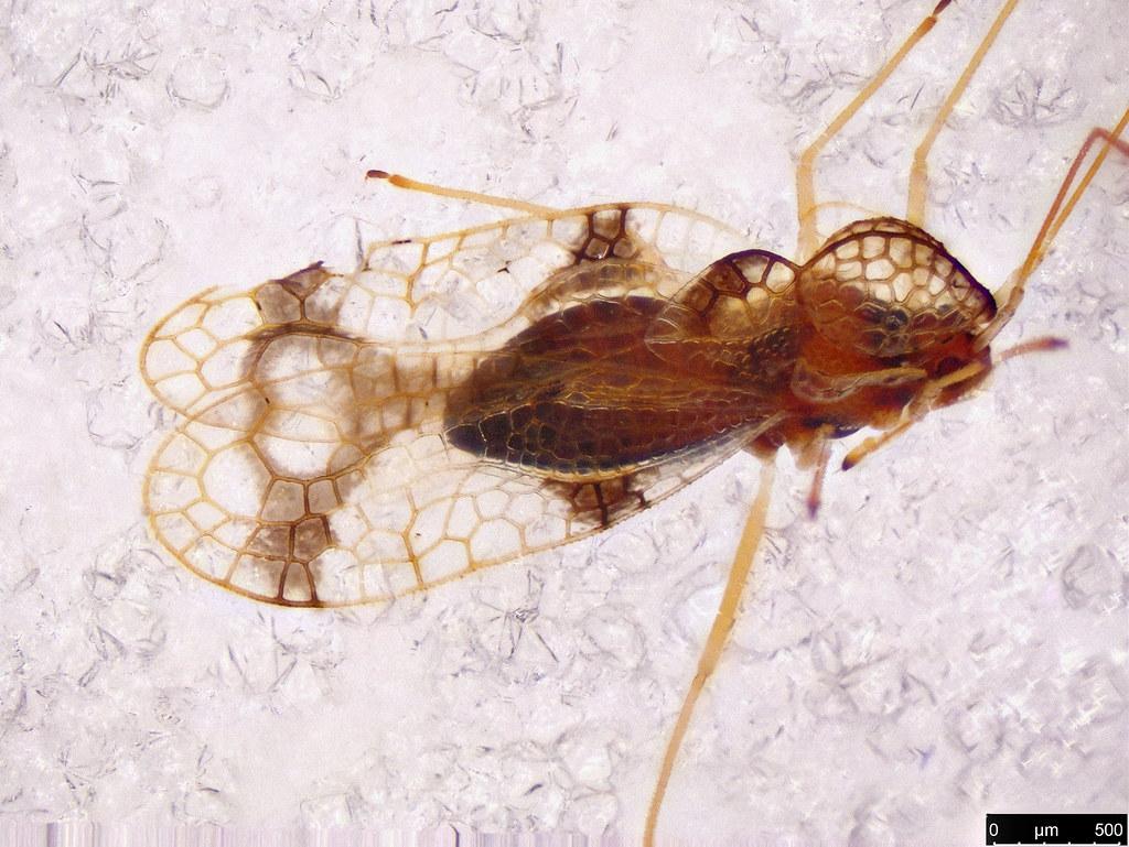 19 - Tingidae sp.