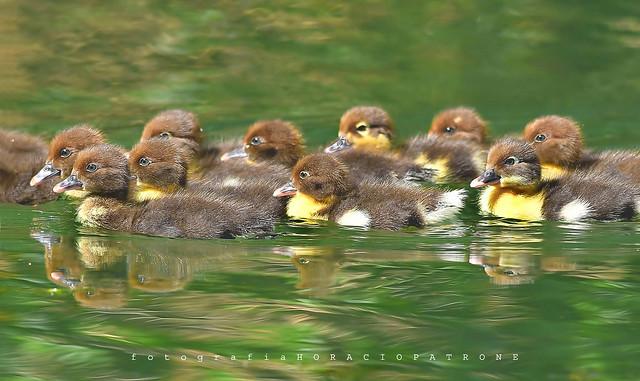 - BABY DUCK  CRIOLLO -  - Muscovy duck (Cairina moschata ) ORGULLOSAMENTE LA MADRE REALIZO EL DEBUT AL AGUA DE SUS 13 PICHONES .toma en Lago de Regatas .buenos aires.argentina.