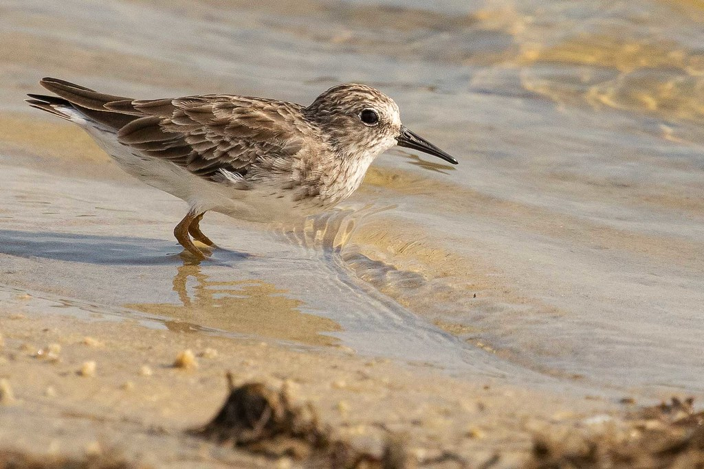 Maçariquinho (Calidris minutilla) Least Sandpiper
