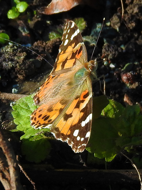 Painted Lady Butterfly (Cynthia cardui)