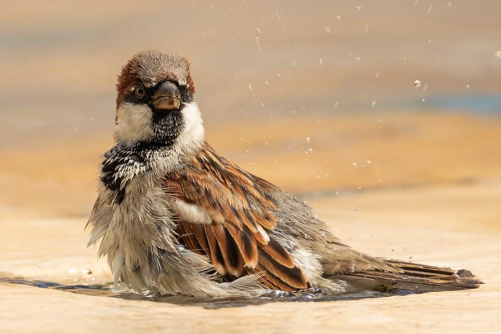 Pardal (macho) (Passer domesticus) House Sparrow