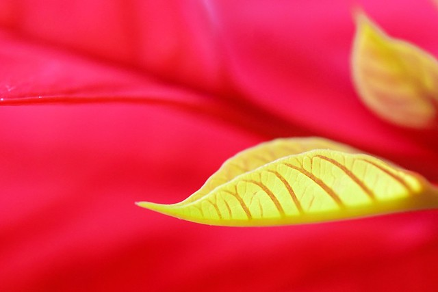 Christmas gone, the poinsettia is starting a new year with fresh vibrant leaves