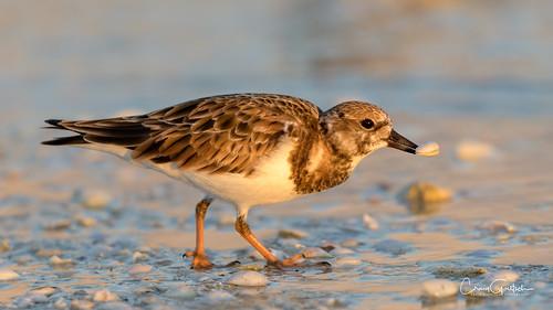 sanibel beach goldenhourlight shorebird ruddyturnstone shells clam bivalve bird avain nature wildlife animal nikon d850