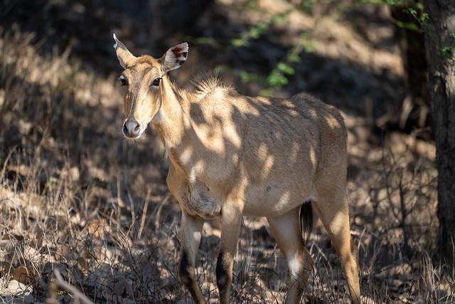Sambar Deer head-on photograph taken in Ranthambore National Park in Rajasthan India