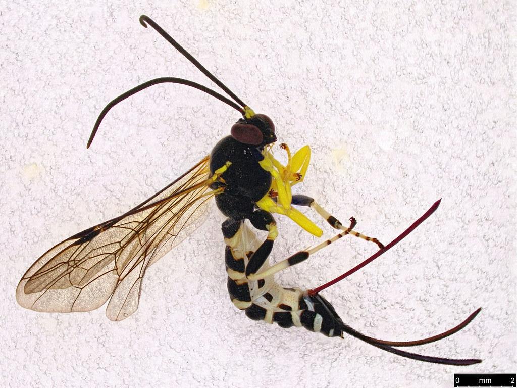 37a - Sericopimpla crenator (Fabricius, 1804)