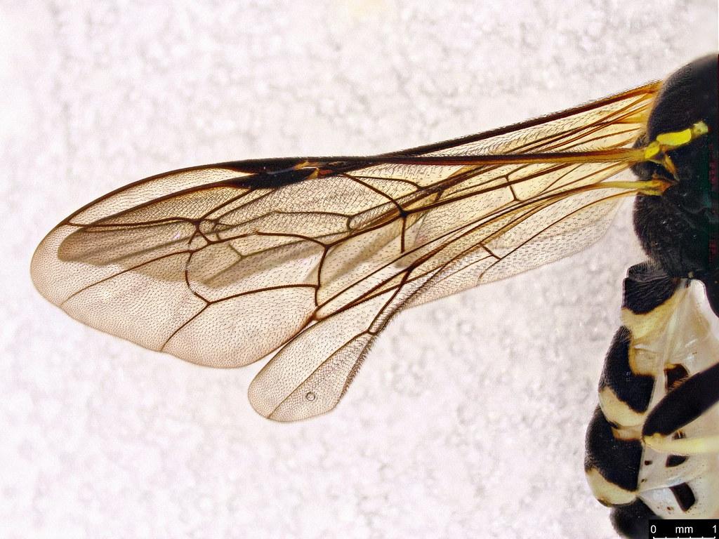 37c - Sericopimpla crenator (Fabricius, 1804)