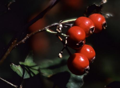 Red Berries (3)
