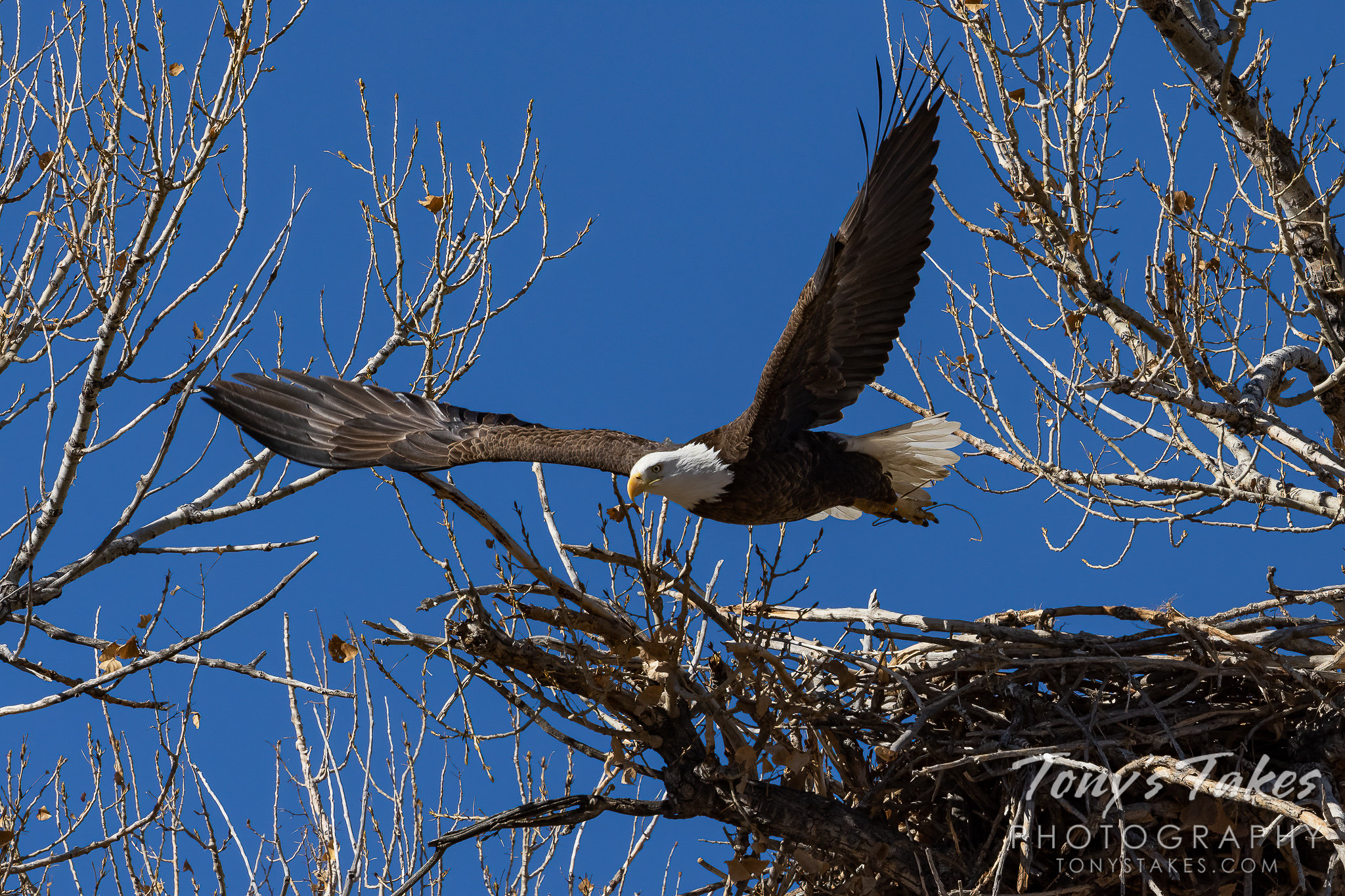 Beautiful bald eagle leaps into action for Freedom Friday