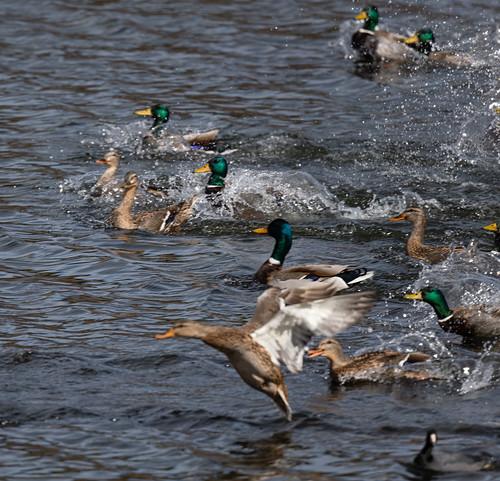 duck_panic-20210208-100