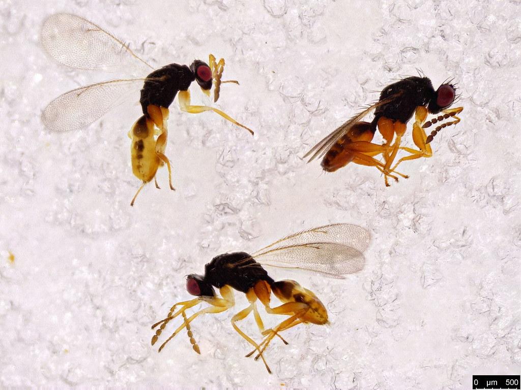 40c - Chalcidoidea sp.