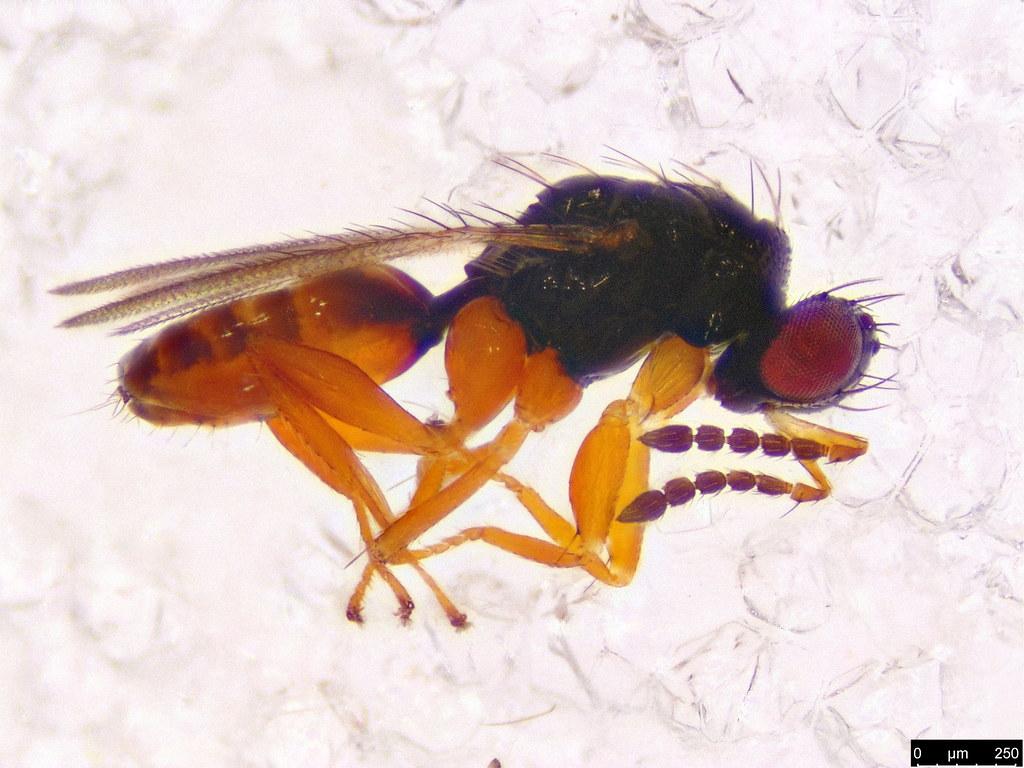 41a - Chalcidoidea sp.