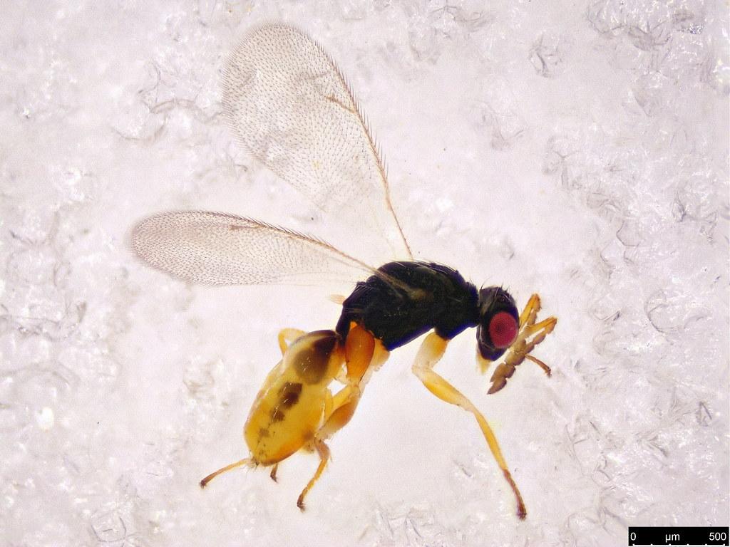 402 - Chalcidoidea sp.