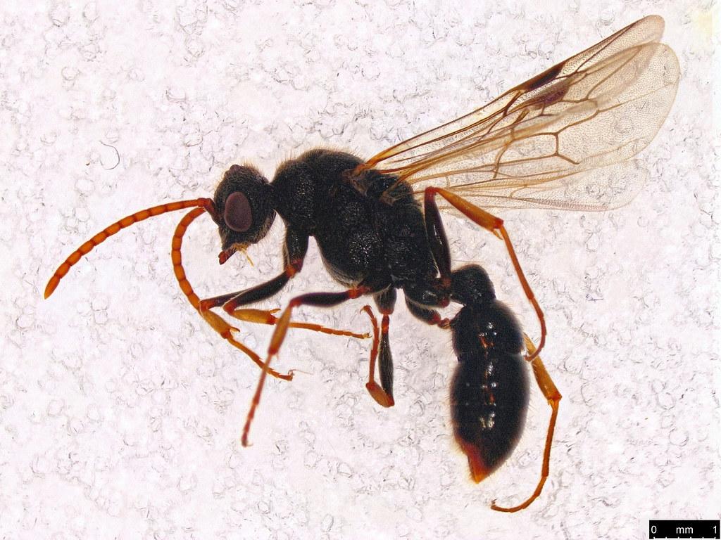 57 - Vespoidea sp.