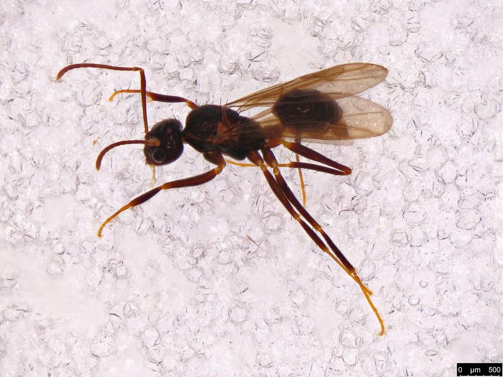 61 - Formicidae sp.