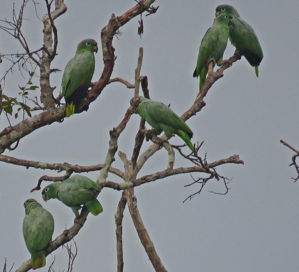 Papagaio-moleiro / Amazona farinosa - RN Tambopata--Collpa Chuncho, Madre de Dios, Peru