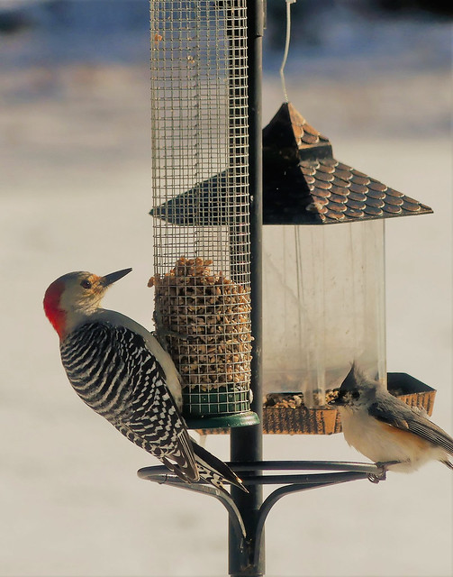 Red Bellied Woodpecker and Titmouse