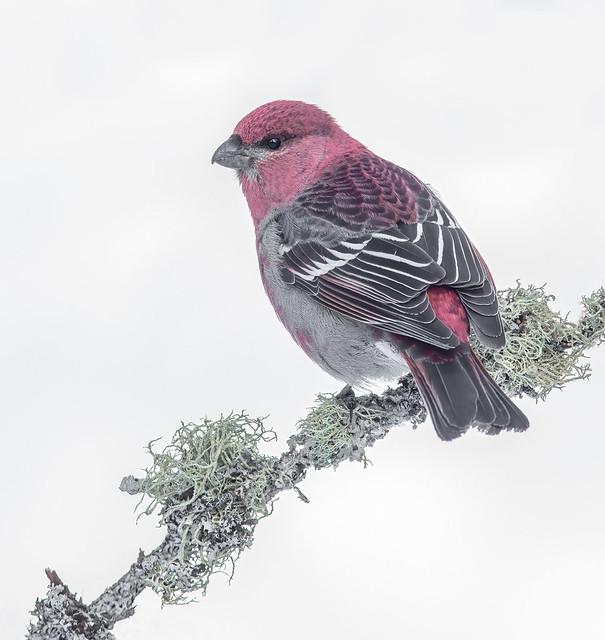 Pine Grosbeak M