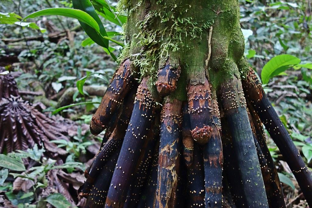 Penis palm tree ( Socratea exorrhiza) - Tambopata, Madre de Dios, Peru