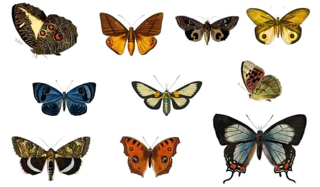 le-déclin-de-la-collecte-de-papillons-menace-la-recherche