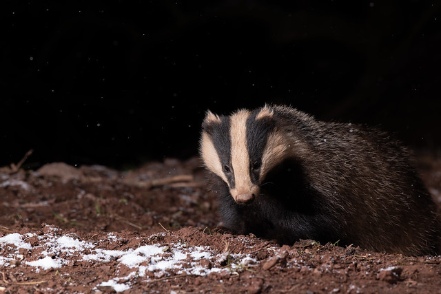 Badger braving the start of some snow fall