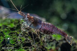 Blue balambano shrimp (Caridina cf. holthuisi) - P2074160