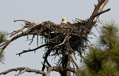 eagle_on_nest_20210208_140