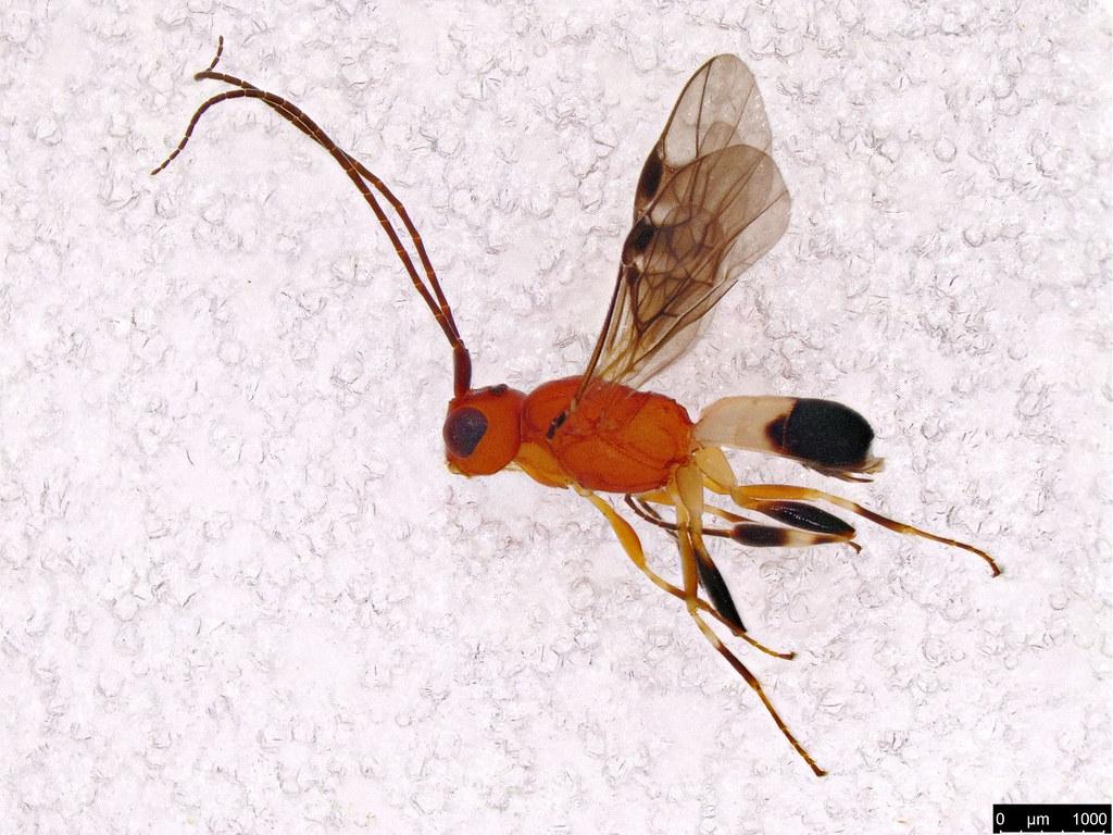 46 - Cheloninae sp.