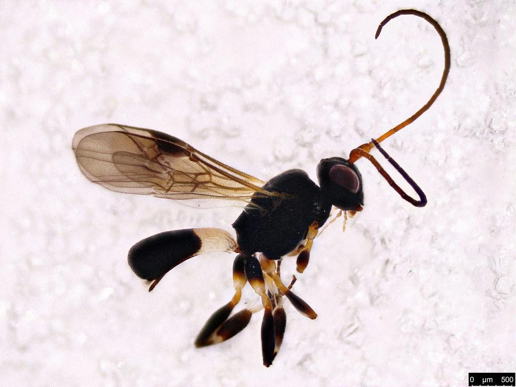 47 - Cheloninae sp.