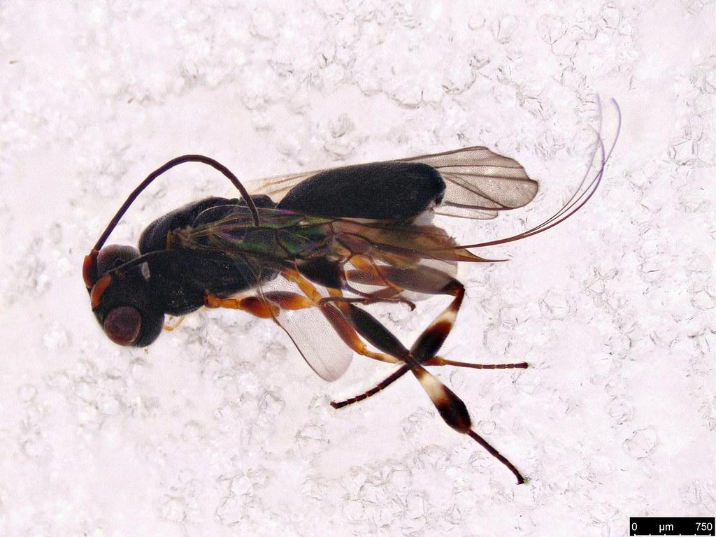 49a - Cheloninae sp.