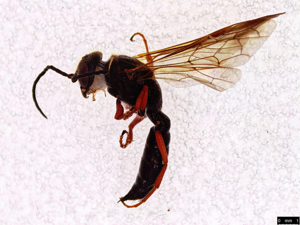 55 - Thynninae sp.