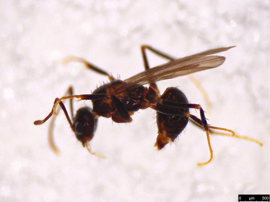 60 - Formicidae sp.