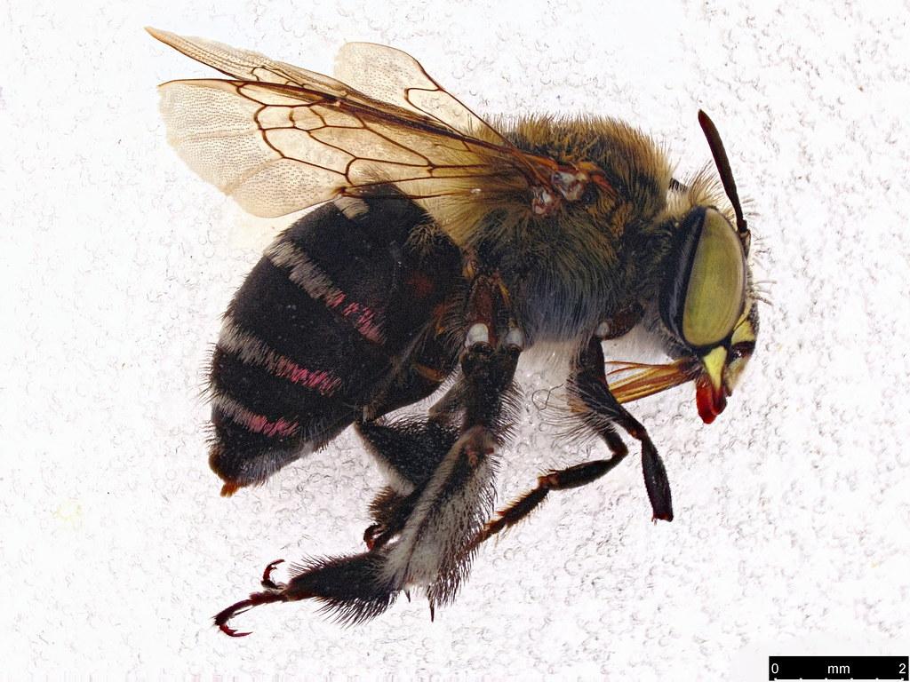 63a - Amegilla (Zonamegilla) asserta (Cockerell, 1926)