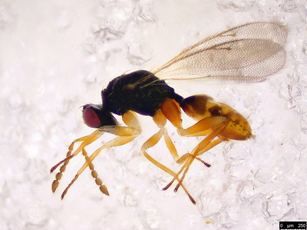 40a - Chalcidoidea sp.