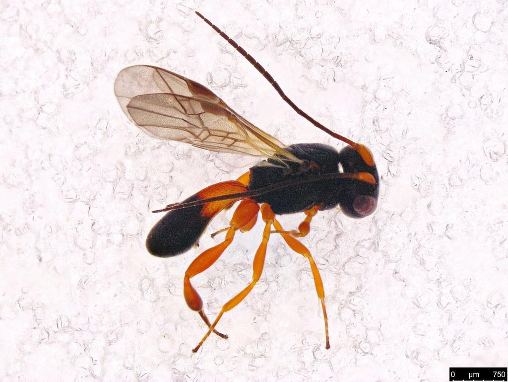 48 - Cheloninae sp.