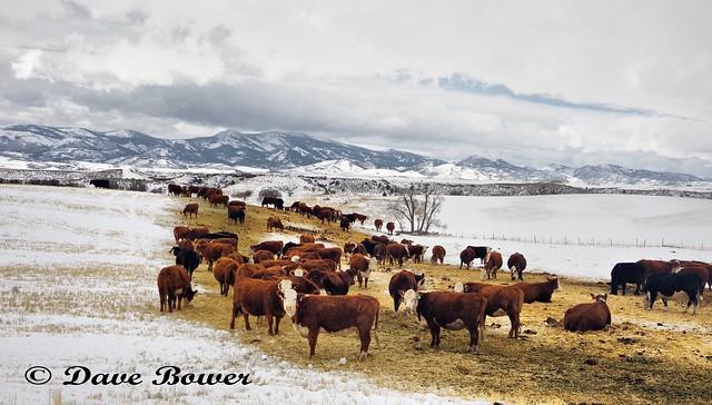 Lago Cows