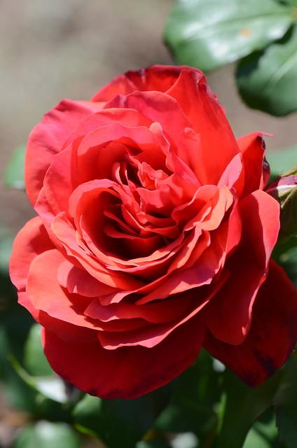 DSC_2243 Fidelio rose, Waite Rose Garden, University of Adelaide, Urrbrae, South Australia