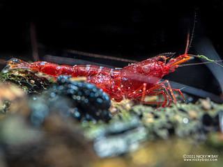 Mini six stripe shrimp (Caridina sp.) - P2084286