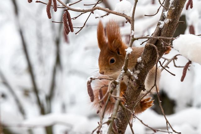 Eichhörnchen im Winter  I  Squirrel in winter