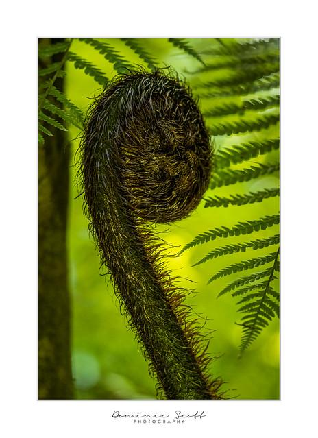 Fern Spiral - New Zealand Koru