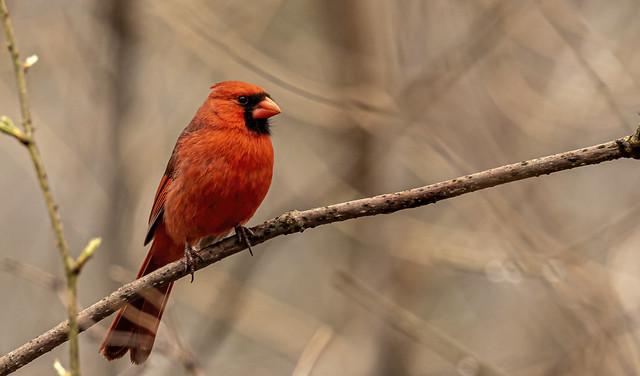 Northern Cardinal......