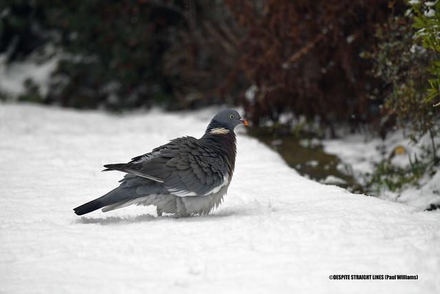 Wood pigeon (Columba palumbus) puffed up to keep warm in the snow