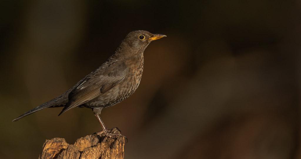Black-Bird-female-LP-crop