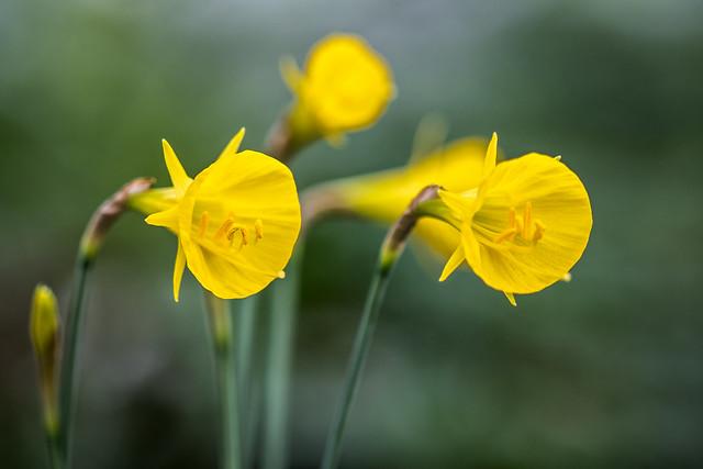Narcissus bulbocodium 3605-4; Amaryllidaceae (1)