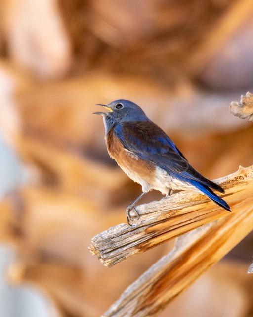 Western Bluebird on Palm Tree