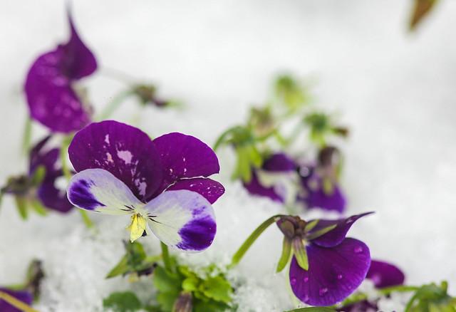 Winter pansies garden..