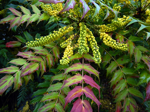 January 1, 2021. The yellow flowers of the Oregon Grape in bloom (Vancouver, Canada)